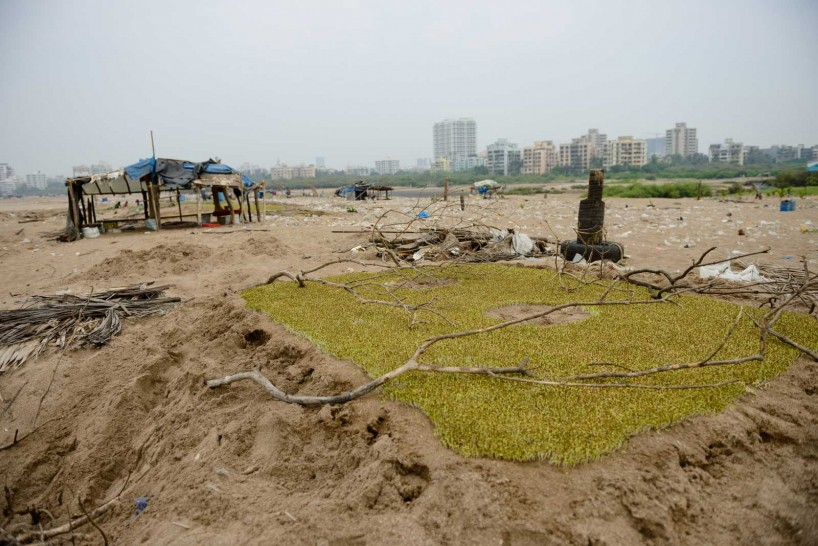Mumbai : Juhu Beach : October 2012 : methi crop