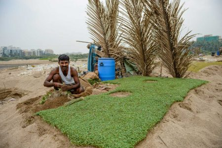 Mumbai : Juhu Beach : October 2012 : Methi (Fenugreek) Harvest