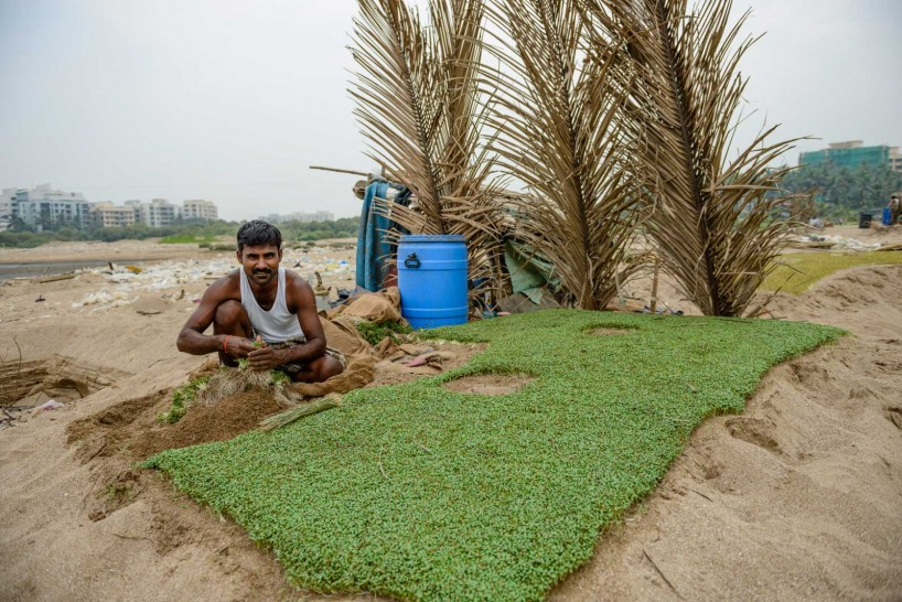Mumbai : Juhu Beach : October 2012 : Methi (Fenugreek) Harvest