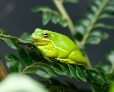 Photo: Green Frog
