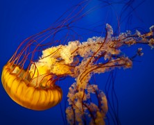 Photo: Pacific Sea Nettle Jellyfish