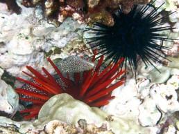 Spotted Moray among the urchin and coral, Lanai, Hawaii, Nov 2011