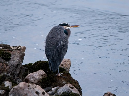 Great Blue Heron Brackendale BC Dec 2011
