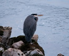Photo: Great Blue Heron in Brackendale, BC