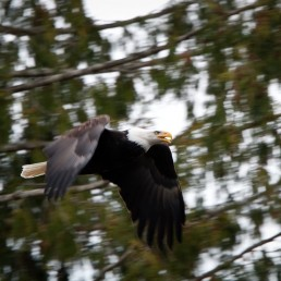 Bald Eagle in flight Brackendale BC Dec 2011
