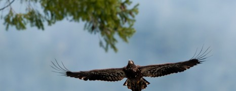 Bald Eagle Photography in Brackendale