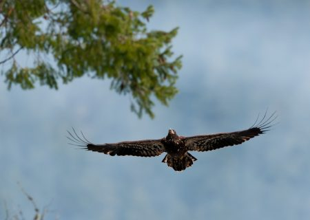 Homepage eagle flying
