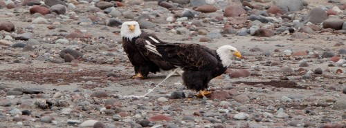 Brackendale Eagles Photo Trip