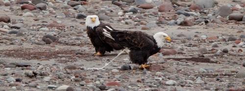 Brackendale Eagles Photo Trip