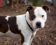 Photo: Pitbull for adoption