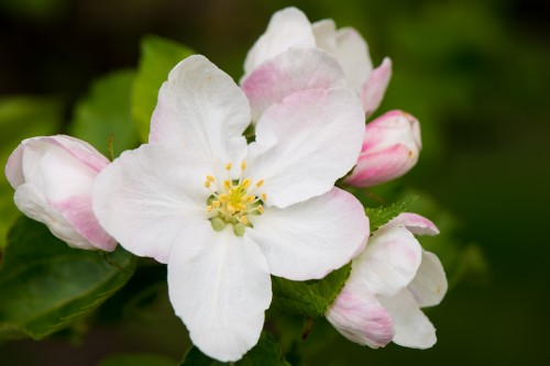 D800 Test Image - Apple blossom