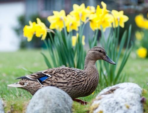 George C. Reifel Migratory Bird Sanctuary Mallard Duck