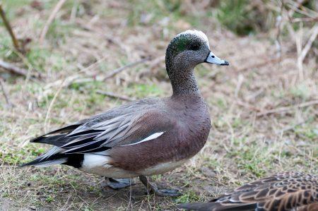 George C. Reifel Migratory Bird Sanctuary Duck