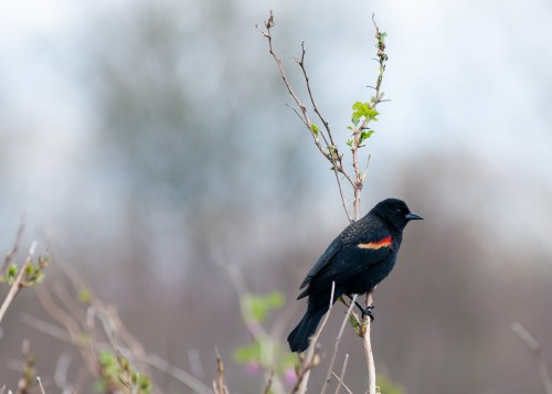George C. Reifel Migratory Bird Sanctuary: Blackbird