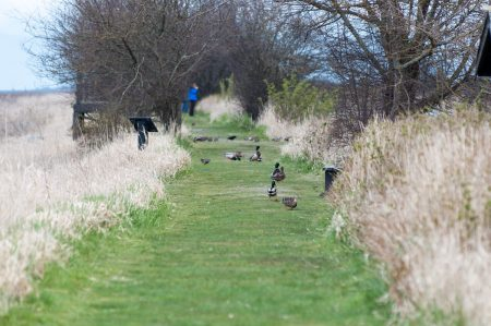 George C. Reifel Migratory Bird Sanctuary: Ducks