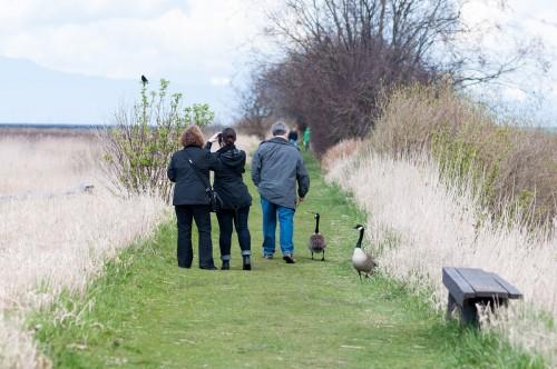 George C. Reifel Migratory Bird Sanctuary: Geese on path