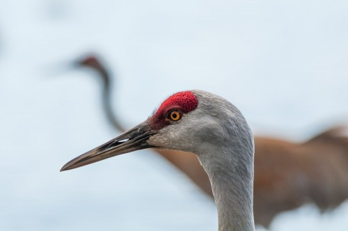 George C. Reifel Migratory Bird Sanctuary: Sandhill crane closeup