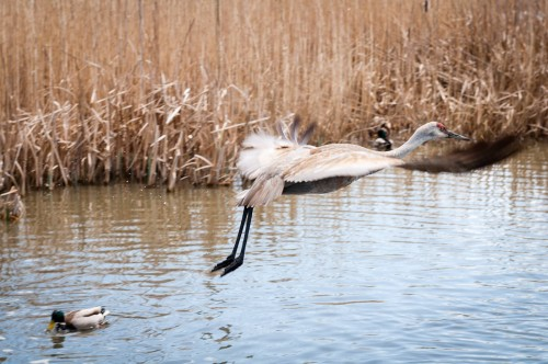 George C. Reifel Migratory Bird Sanctuary: sandhill crane flying