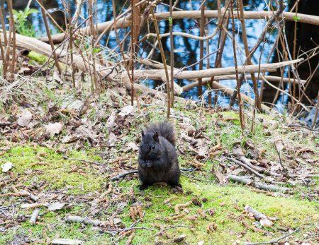 George C. Reifel Migratory Bird Sanctuary: squirrel