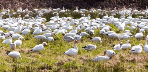 George C. Reifel Migratory Bird Sanctuary: snow geese