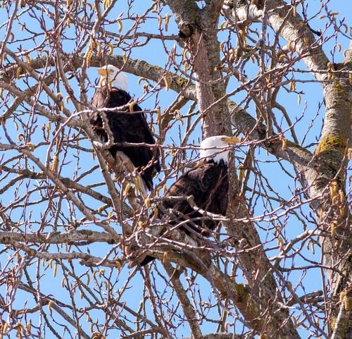 George C. Reifel Migratory Bird Sanctuary: bald eagles