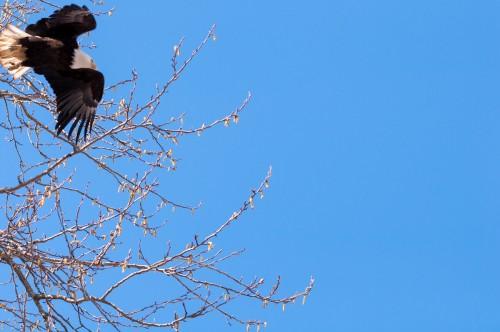 George C. Reifel Migratory Bird Sanctuary: bald eagle flying