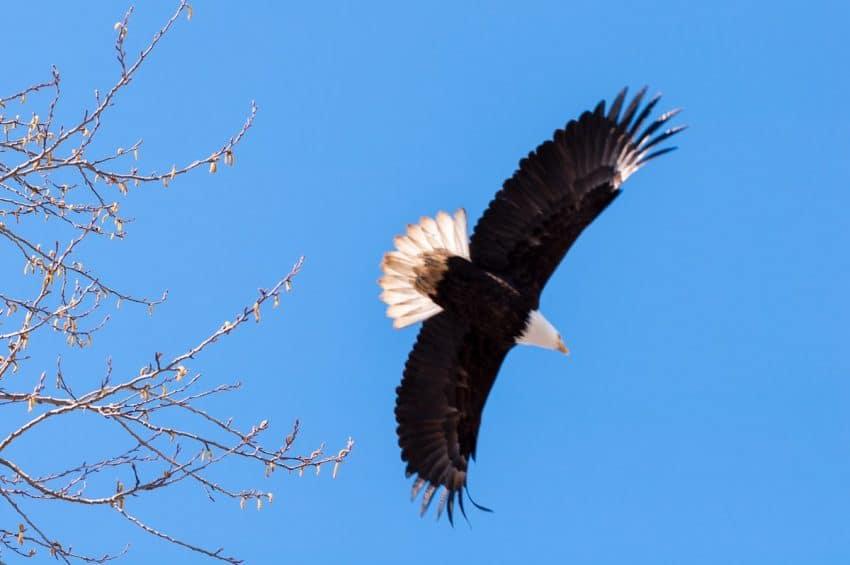George C. Reifel Migratory Bird Sanctuary: bald eagle