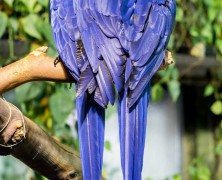 Photo: Hyacinth Macaws at the Vancouver Aquarium