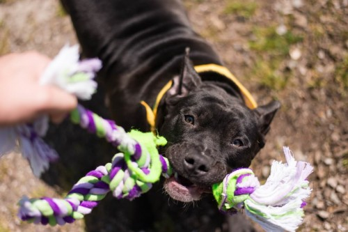 Vancouver Animal Control - Shelter Dogs - 2012-05-11 - Pit Bull
