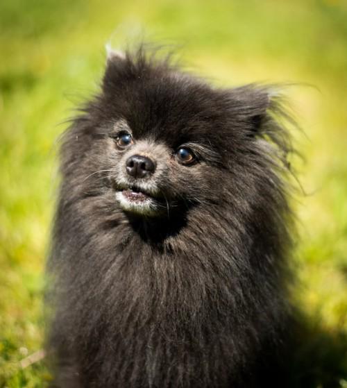 Vancouver Animal Control - Shelter Dogs - 2012-05-11 - Pomeranian