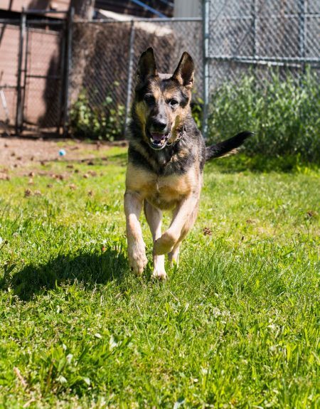 Vancouver Animal Control - Shelter Dogs - 2012-05-11 - German Shepherd