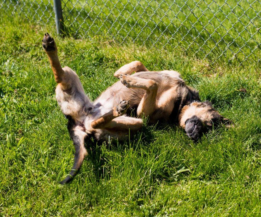 Vancouver Animal Control - Shelter Dogs - 2012-05-11 - German Shepherd
