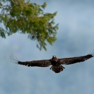 Photo: Juvenile Bald Eagle In Brackendale, BC