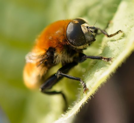 Garden Bee : 2012-06-20 : Single Image with 105mm f/2.8 VR Micro