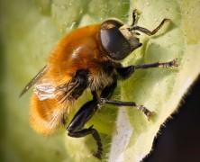 PHOTO: Hoverfly