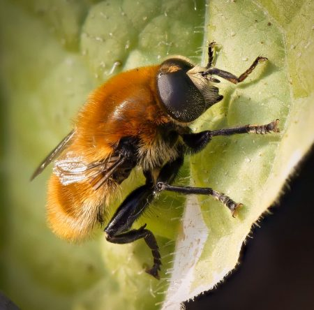 Garden Bee: 2012-06-20 : Focus Stack with Zerene Stacker (105mm f/2.8 VR Micro)