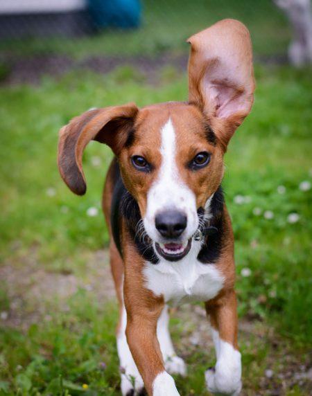 Shelter Dogs : 2012-06-23 : Beagle 1