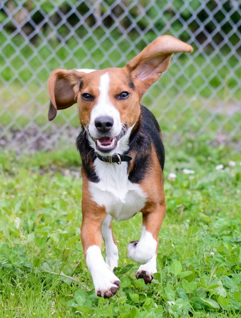 Shelter Dogs : 2012-06-23 : Beagle 2