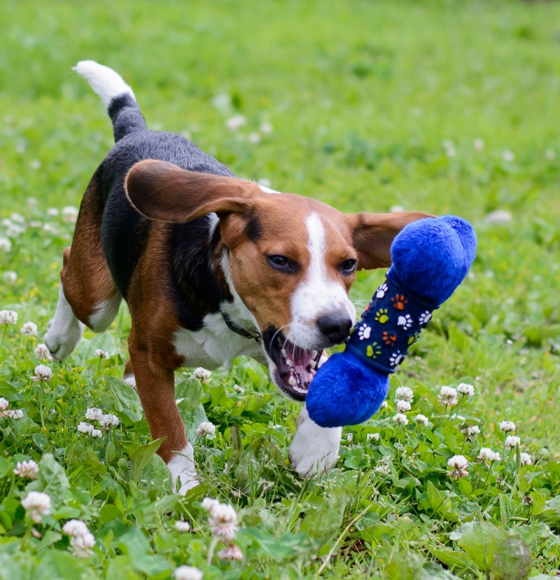 Shelter Dogs : 2012-06-23 : Beagle 4