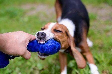 Shelter Dogs : 2012-06-23 : Beagle 5