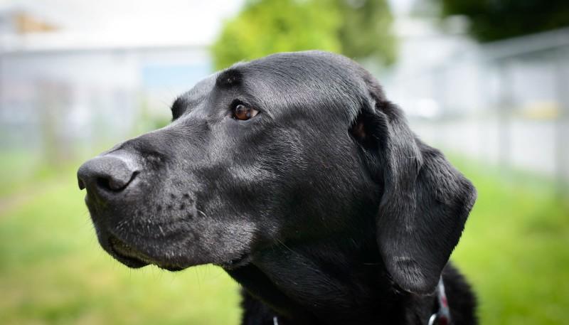 Shelter Dogs : 2012-06-23 : Black Lab 1