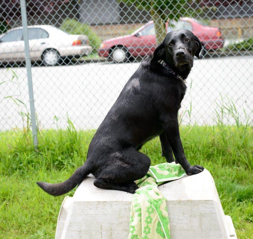 Shelter Dogs : 2012-06-23 : Black Lab dog house