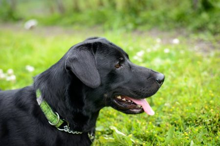 Shelter Dogs for Adoption : 2012-06-27 : Black Lab