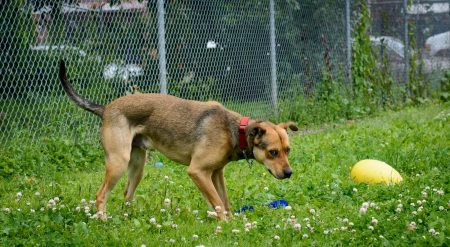 Shelter Dogs for Adoption : 2012-06-27 : Pittie Mix 2