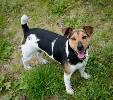 Shelter Dogs for Adoption : 2012-06-27 : Jack Russel Terrier