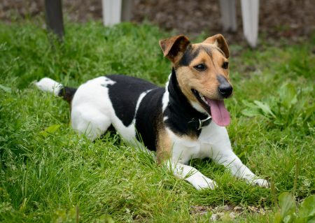 Shelter Dogs for Adoption : 2012-06-27 : Jack Russel Terrier 2