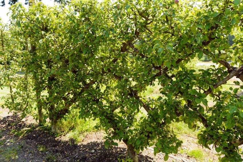 UBC Botanical Garden Fruit trees