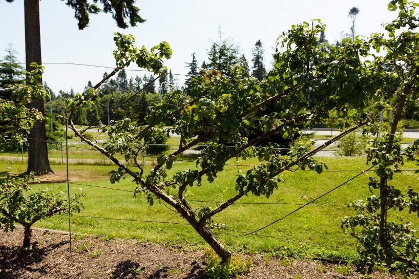 UBC Botanical Garden Fruit trees 2