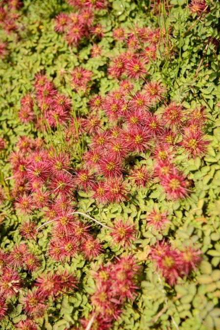 UBC Botanical Garden Burrs