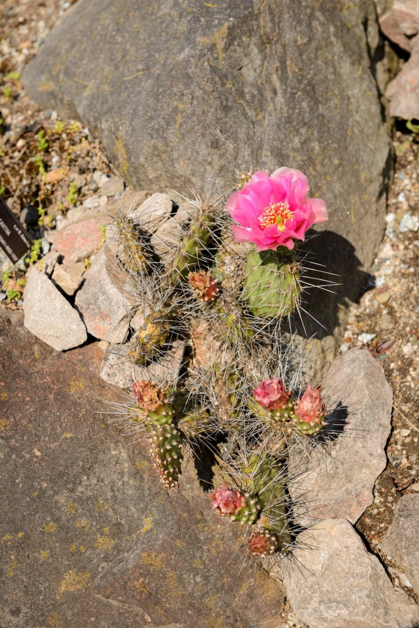 UBC Botanical Garden Cactus in Bloom